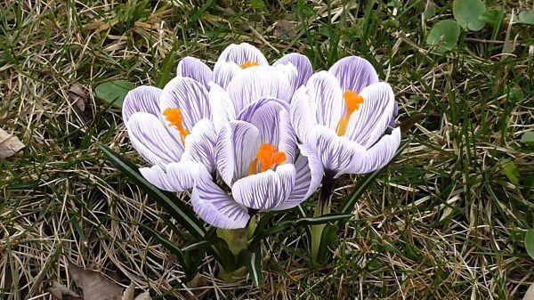 Crocus  flowers  spring video