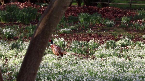 Pheasant  snow drops  tree video
