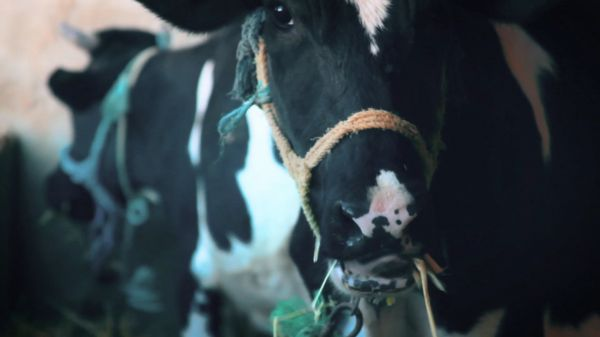 Cow  animal  agriculture video
