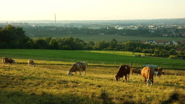 Cows  pasture  agriculture