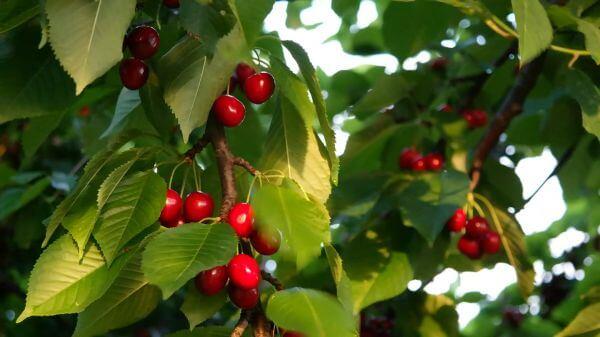 Cherries  cherry  fruit video