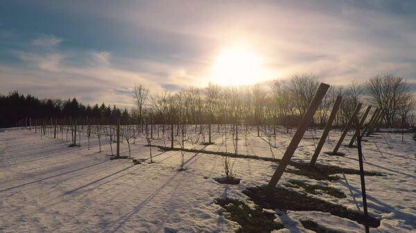 Sunset  vineyard  agriculture video