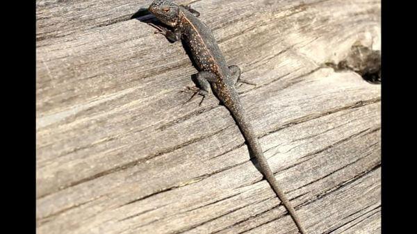 Lizard  reptile  saurian video