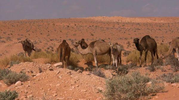 Dromedary  tunisia  desert