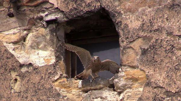 Kestrel  bird  falcon video