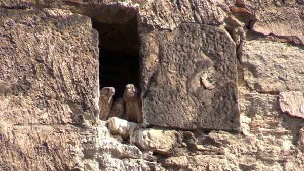 Kestrel  falcon  bird video