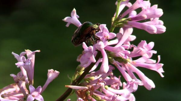 Shiny rose gold beetle  beetle  lilac video