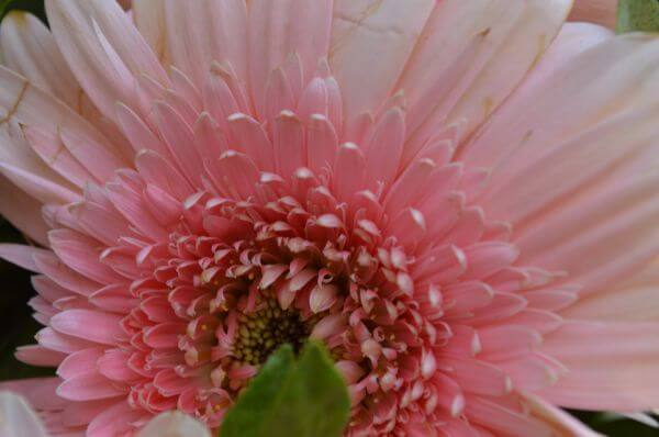 Daisy Closeup Pink photo