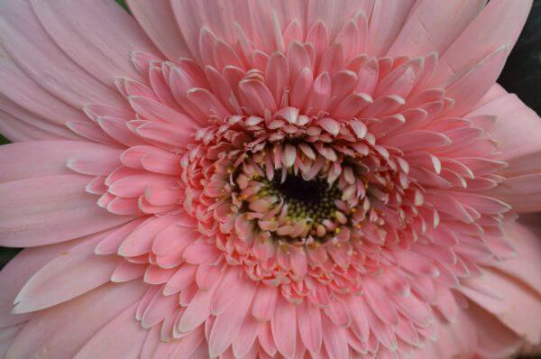 Daisy Light Pink photo