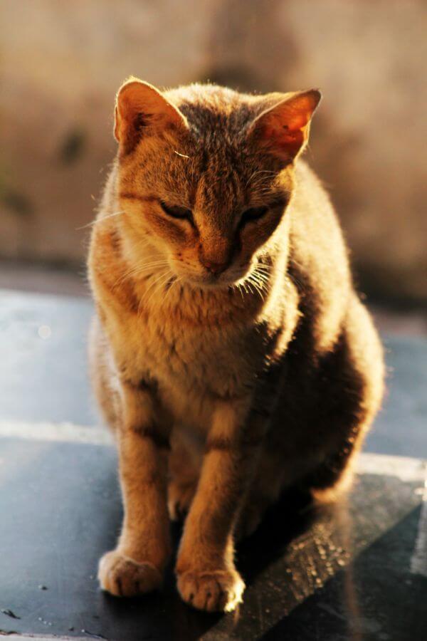 Brown Golden Cat photo
