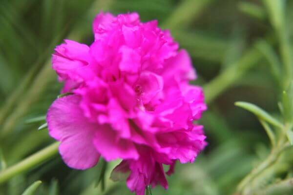 Carnation Flowers Pink photo