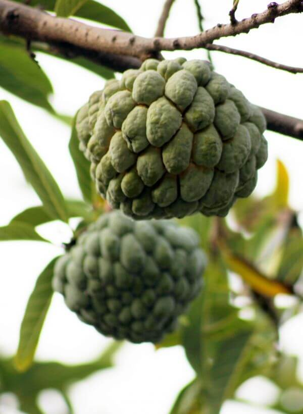 Custard Apple Fruit Plant photo