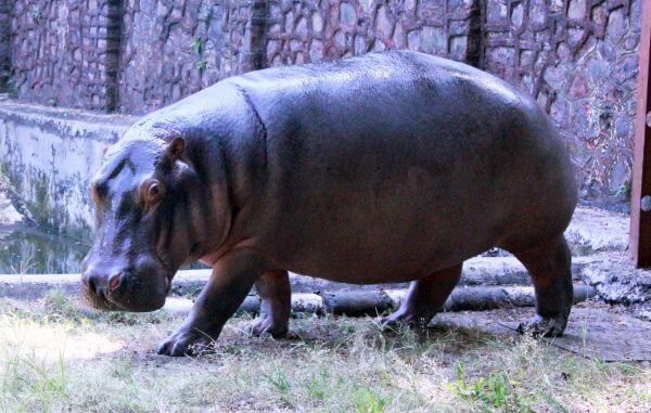 Hippo In Zoo photo