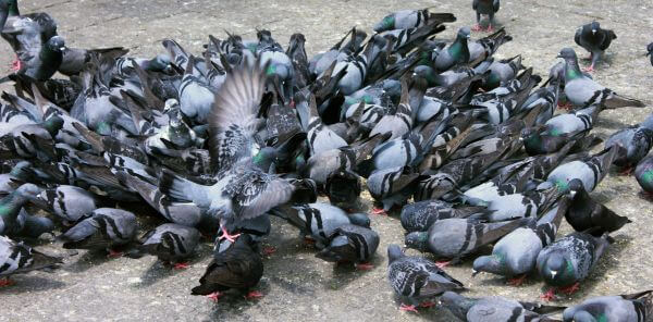 Hundreds Of Pigeons photo