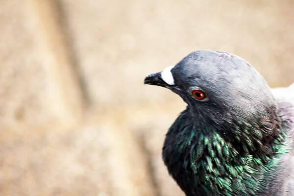 Pigeon Beautiful Face photo