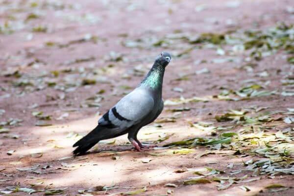 Pigeon On Ground Sitting photo