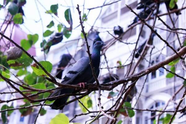 Pigeon On Tree Branch photo