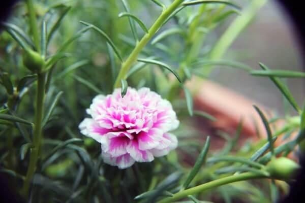 Pink White Carnation In Garden photo