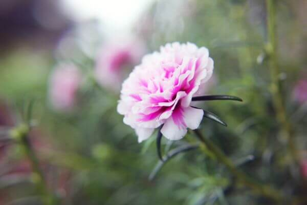 Pink White Carnations photo