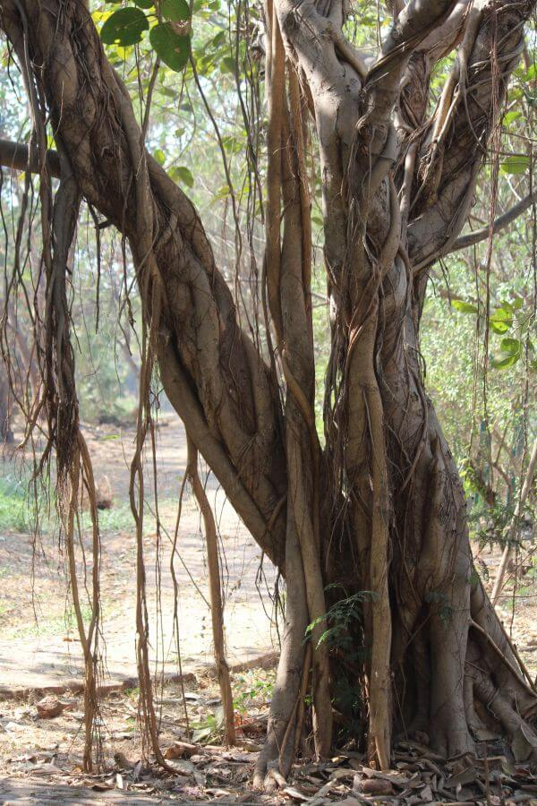 Banyan Tree Roots Garden photo