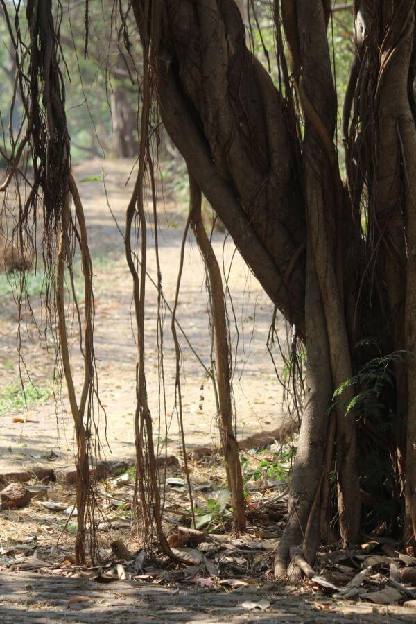 Banyan Tree Roots photo