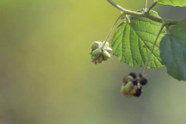 Beautiful Leaf Flower Buds photo