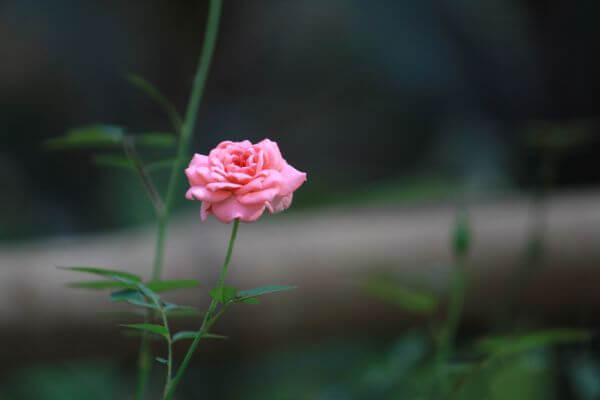 Pink Rose Dark Background photo