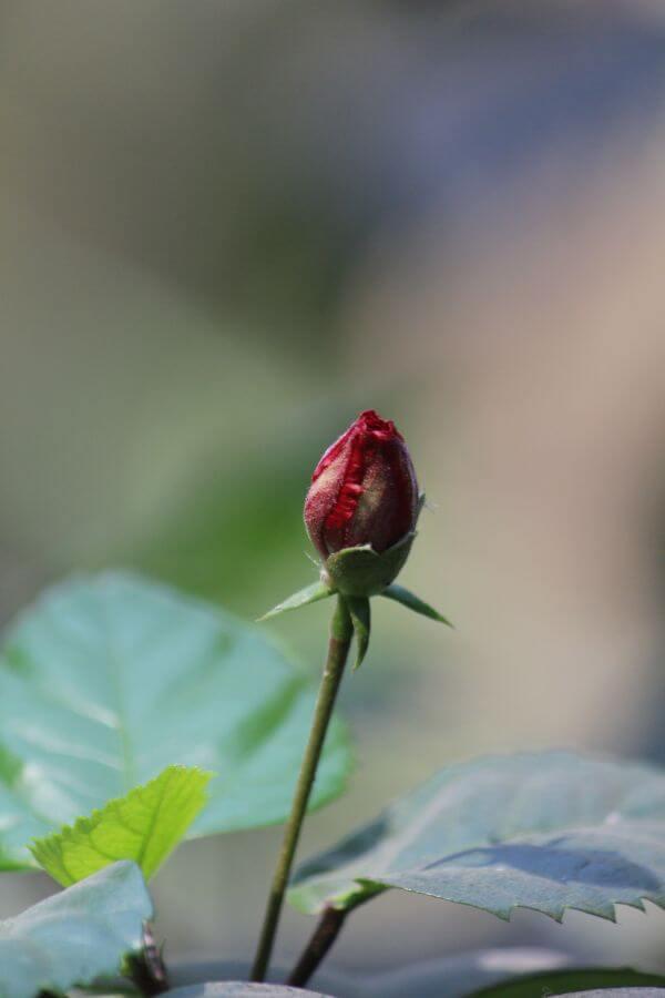 Red Flower Bud photo
