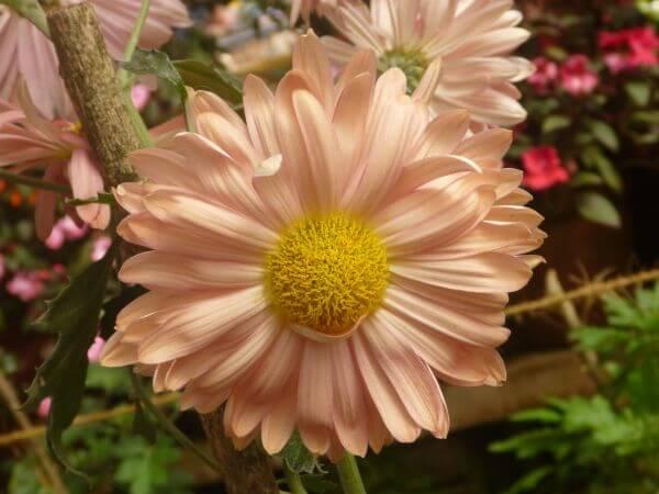 Beautiful Flower Cream photo