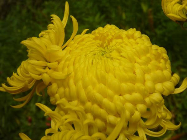 Yellow Big Flower photo