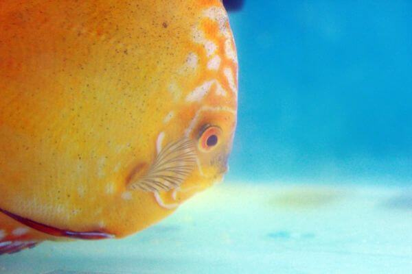 Bright Orange Fish Blue Water photo