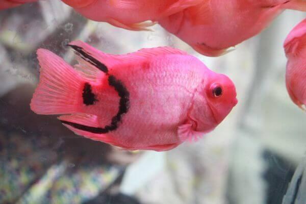 Bright Pink Fish photo
