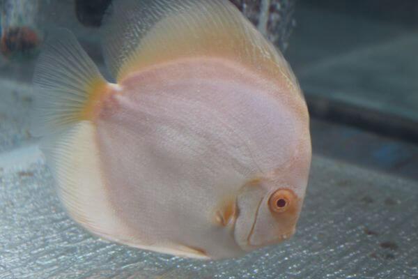 Cream Colored Fish photo