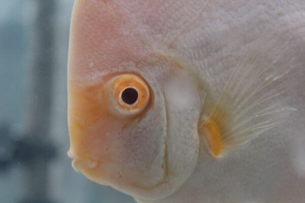 Cream White Fish Face photo