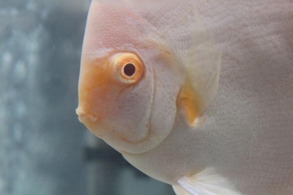 Cream White Fish photo