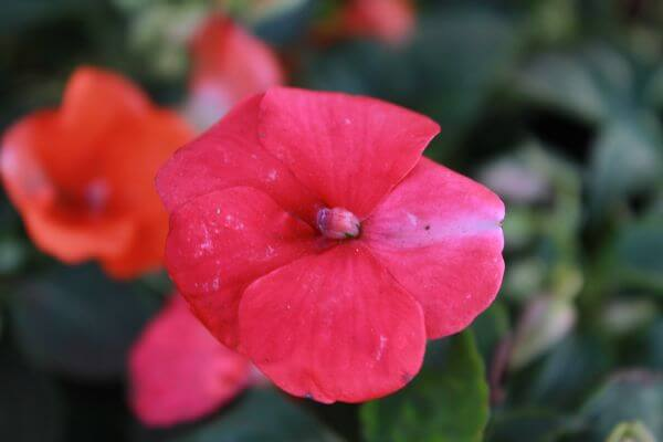 Flower Pink Red photo