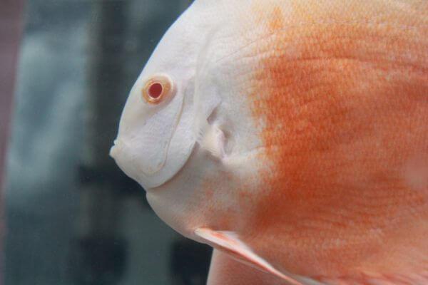 White Orange Fish Closeup photo