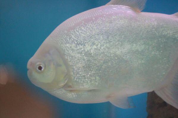 White Silver Fish Close Up photo