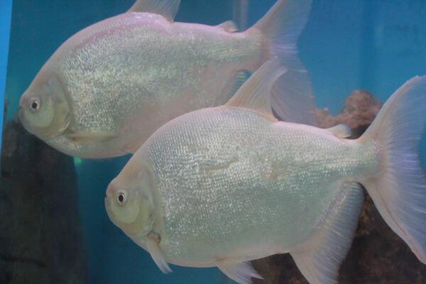 White Silver Fish Couple photo
