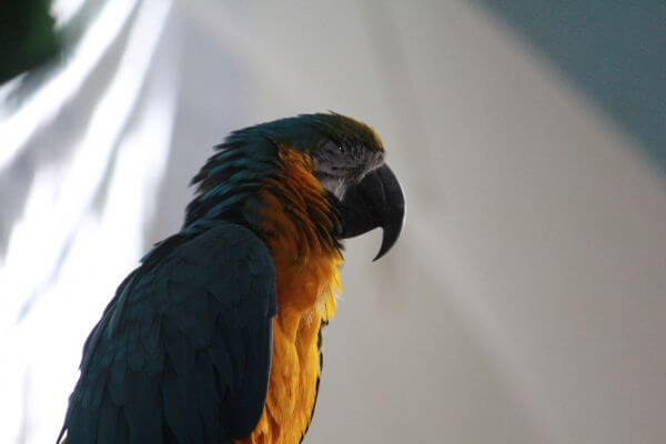 Yellow Green Macaw photo