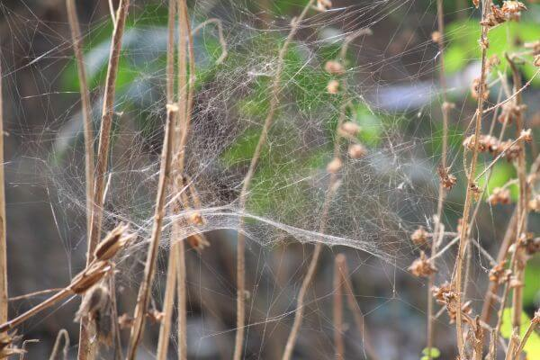 Cobwebs Spider Bush photo