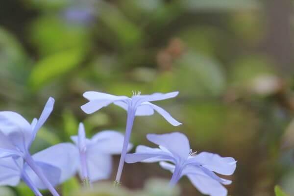 Light Blue Flowers photo
