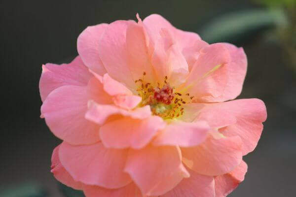 Pink Cream Flower photo