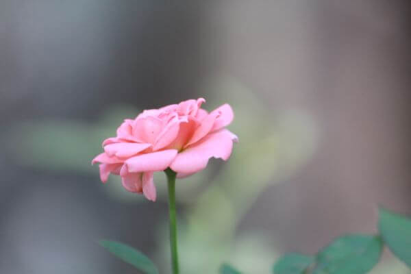 Small Pink Flower photo