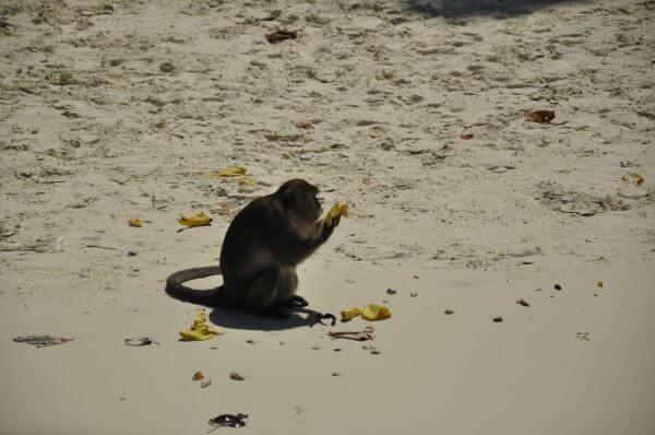 Monkey Eating Beach photo