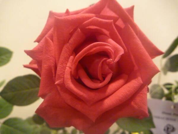 Nice Rose photo