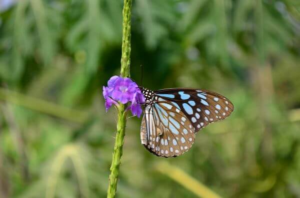 Blue Tiger Butterflies photo