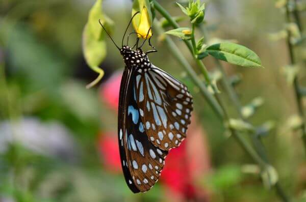 Blue Tiger Butterfly photo