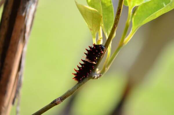Common Rose Caterpillar photo