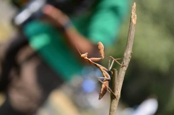 Praying Mantis Insect photo